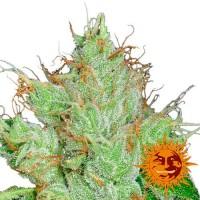 Kauf G13 HAZE REGULAR - 10 seeds