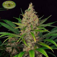 Kauf Road Dawg  Regular - 12 seeds