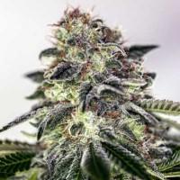 Kauf Sticky Dream Express - 5 seeds