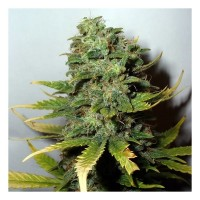 Kauf SUPER SKUNK FEM 5 SEEDS