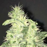 Kauf Supreme CBD Kush 5 Seeds