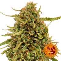 Kauf WIDOW REMEDY REGULAR - 10 seeds