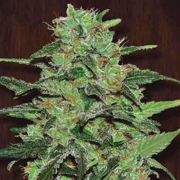 Malawi Regular - 5 seeds - Ace Seeds