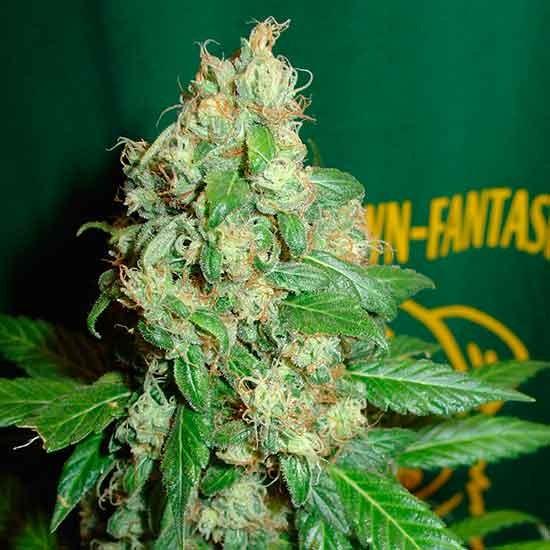 Ac Diesel  - 5 seeds - Fantaseeds