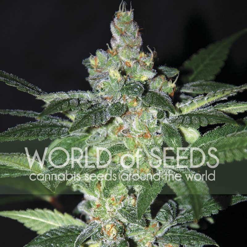 Amnesia - World of Seeds