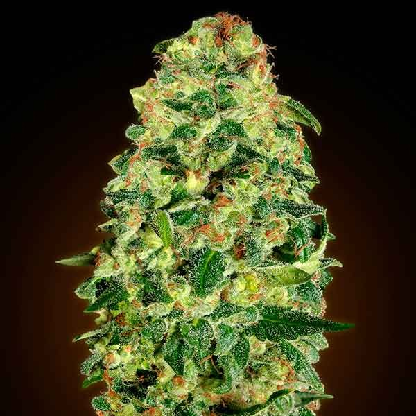 Auto California Kush - 5 seeds - 00 Seeds