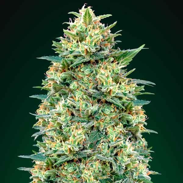 Auto White Widow - 5 seeds - 00 Seeds
