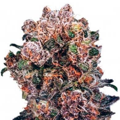 Blueberry Reg. - Dutch Passion