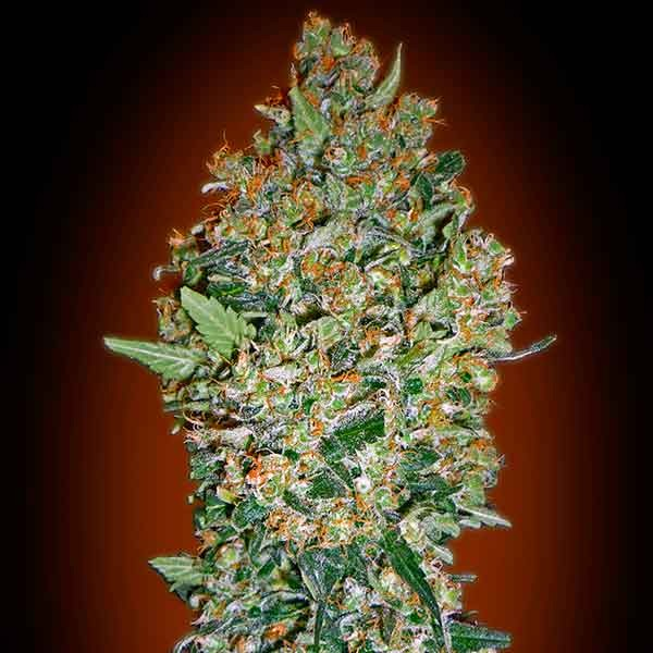 Cheese Berry - 5 seeds - 00 Seeds