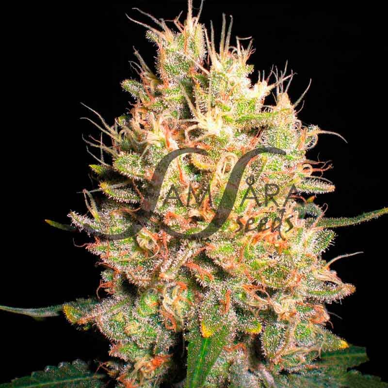 CRAZY MISS HYDE  - Samsara Seeds