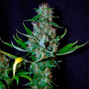 Diamond Head - 5 seeds - Sagarmatha