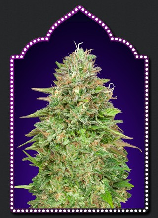 Critical Poison Fast Version - 5 seeds - 00 Seeds
