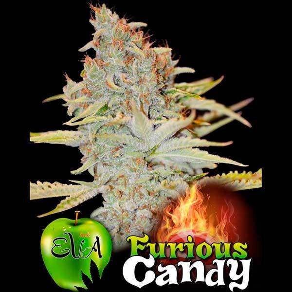 FURIOUS CANDY - Eva Seeds