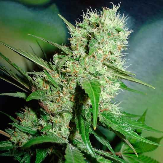Jack Herer - 5 seeds - Fantaseeds