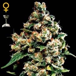 JACK HERER - Green House