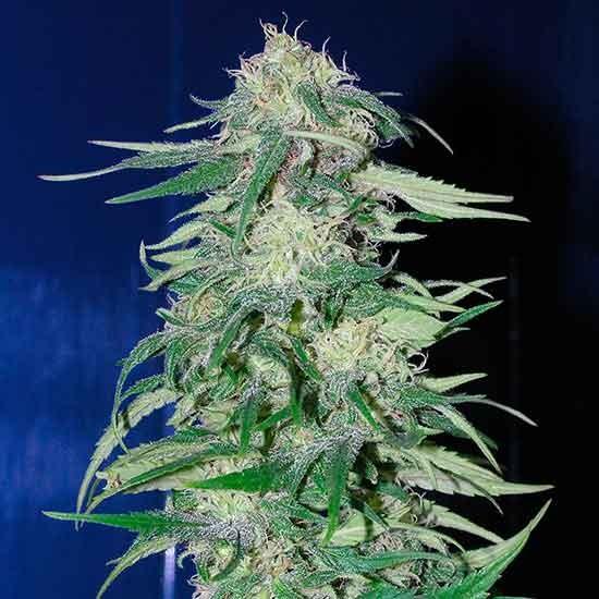 K 2 - 5 seeds - Fantaseeds