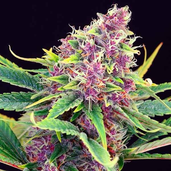 Purple Kush - Kannabia