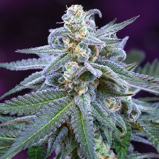 Killer Grape - 5 seeds - TGA Subcool