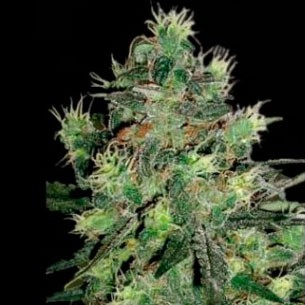 Midnight Blue - 5 seeds - Sagarmatha