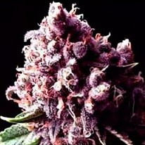 Purple Pinecone - 5 seeds - Sagarmatha