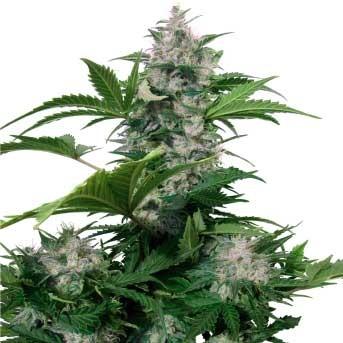White Dwarf Auto - Buddha Seeds