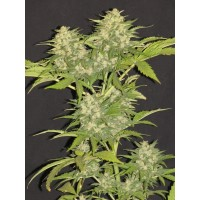 Acquistare Critical Super Silver Haze