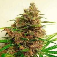 Acquistare  Malawi X Pck  Regular - 5 seeds