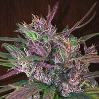Acquistare  Oldtimer's Haze - 5 seeds
