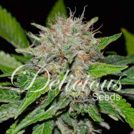 Deep Mandarine - 3 seeds