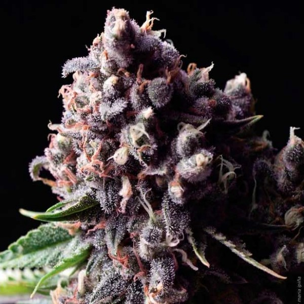 AUTO PURPLE - Pyramid Seeds