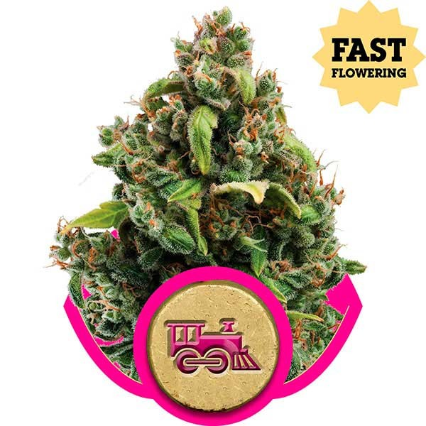 Candy Kush Express (Fast Flowering) - Royal Queen