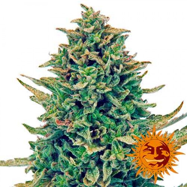 CBD BLUE SHARK - Seeds - Delicious Seeds