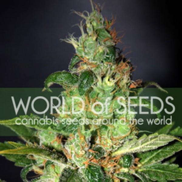 Chronic Haze - World of Seeds