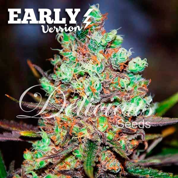 COTTON CANDY KUSH EARLY VERSION - Seeds - EARLY VERSION