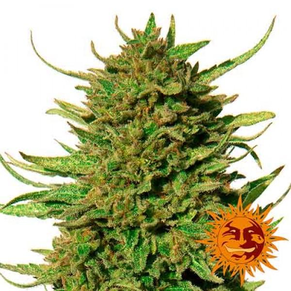 CRITICAL KUSH REGULAR - 10 seeds - Barney's Farm