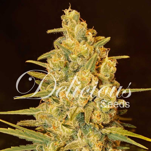 Critical Sensi Star - Seeds - Feminized