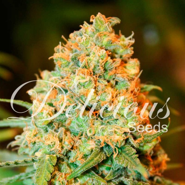 Critical Super Silver Haze - Seeds - Feminized