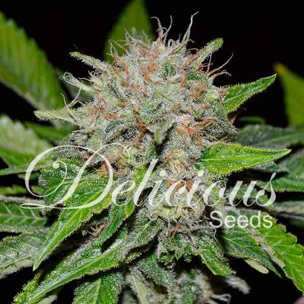 Deep Mandarine - Seeds - CBD FAMILY