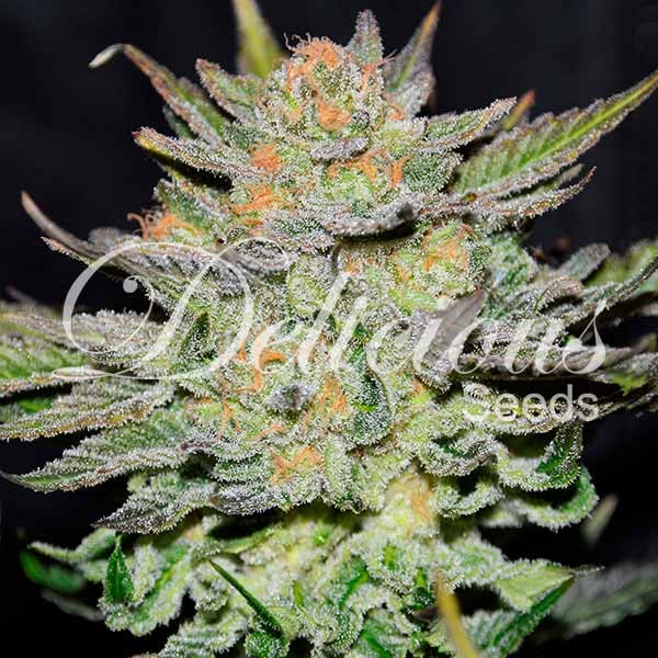Auto Blue Ace Cbd - Seeds - CBD FAMILY