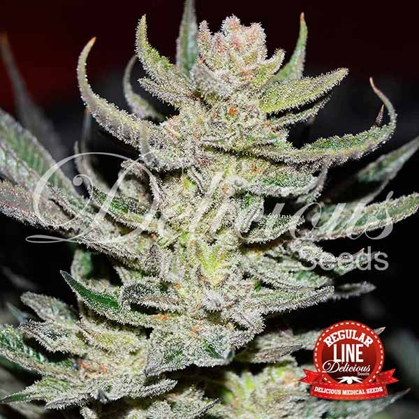 Unknown Kush Regular - Seeds - REGULAR