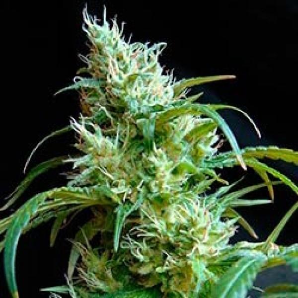 FLASH BACK #2   - Sweet Seeds