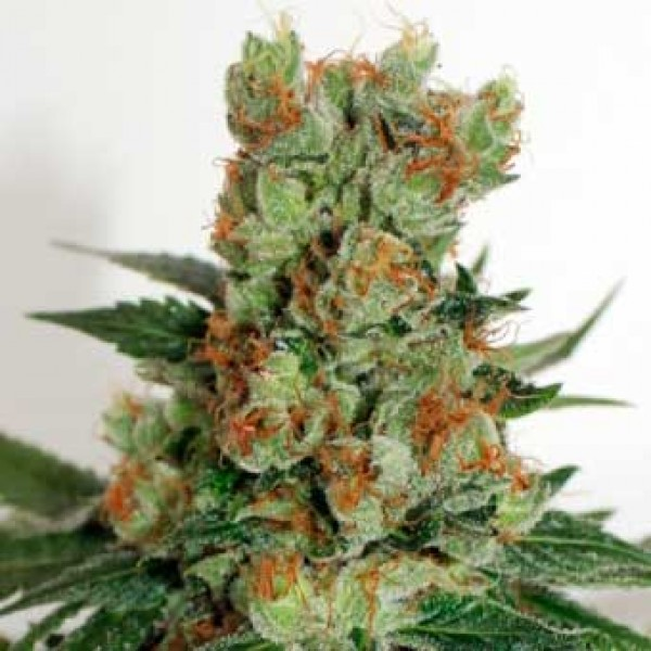 FUEL OG - Ripper Seeds