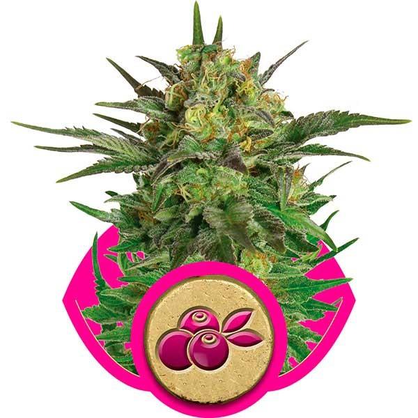 Haze Berry - Royal Queen