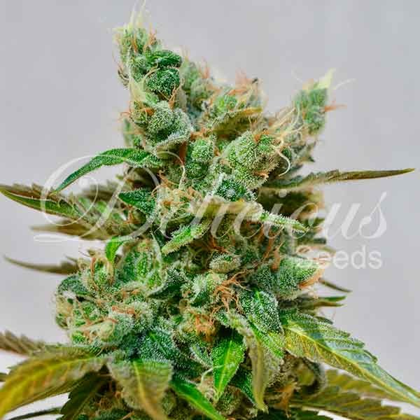 Honeybells - Seeds - CBD FAMILY