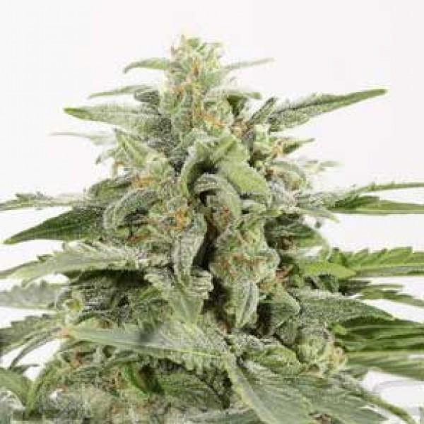 Industrial Plant Autoflowering CBD - Seeds - Delicious Seeds
