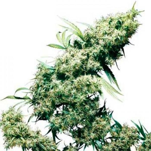 JAMAICAN PEARL REGULAR - Sensi Seeds