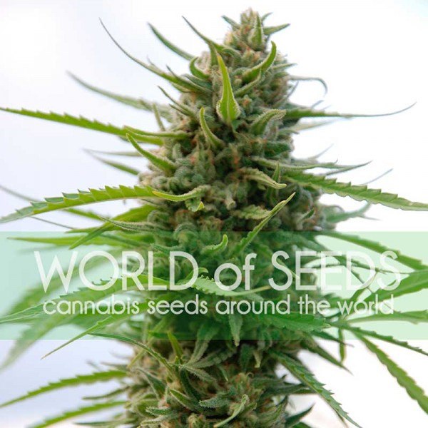Kilimanjaro - World of Seeds