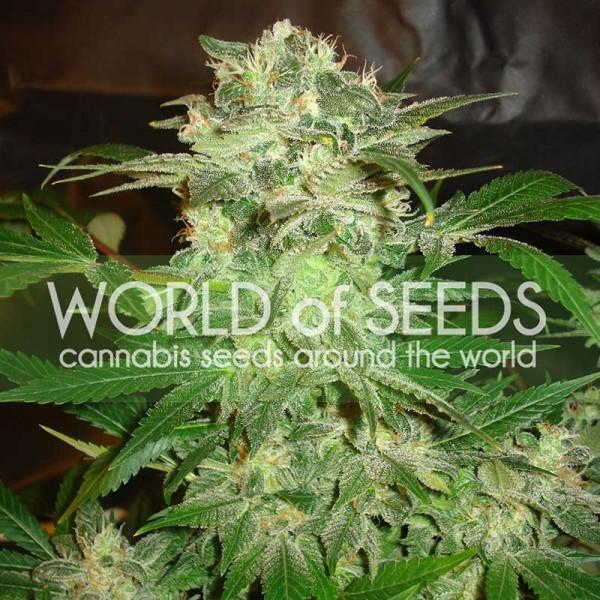 MAZAR KUSH - World of Seeds