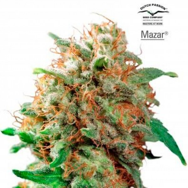 MAZAR REG - Dutch Passion