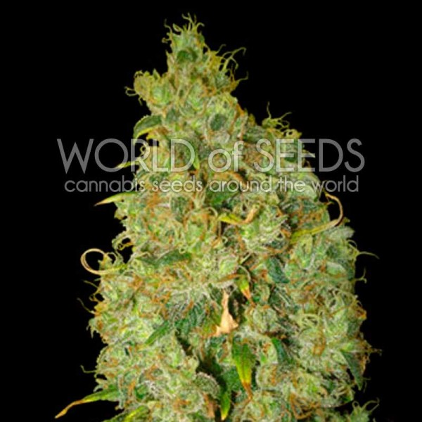Northern Light x Skunk - World of Seeds